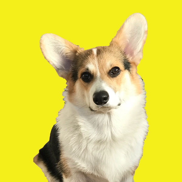 nachocorgo - Tri-colored corgi with a lot of TUDE! @nachocorgo